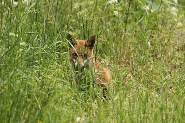 Red Fox at Garthorne Road (1)