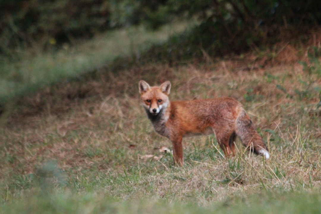 Red Fox at Garthorne Road@Ernest homason 2017