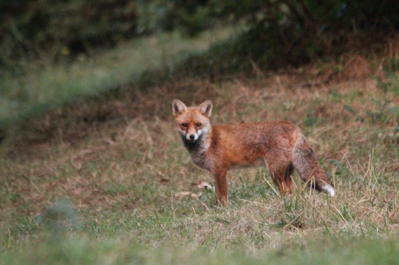Red Fox at Garthorne Road@Ernest homason 2017