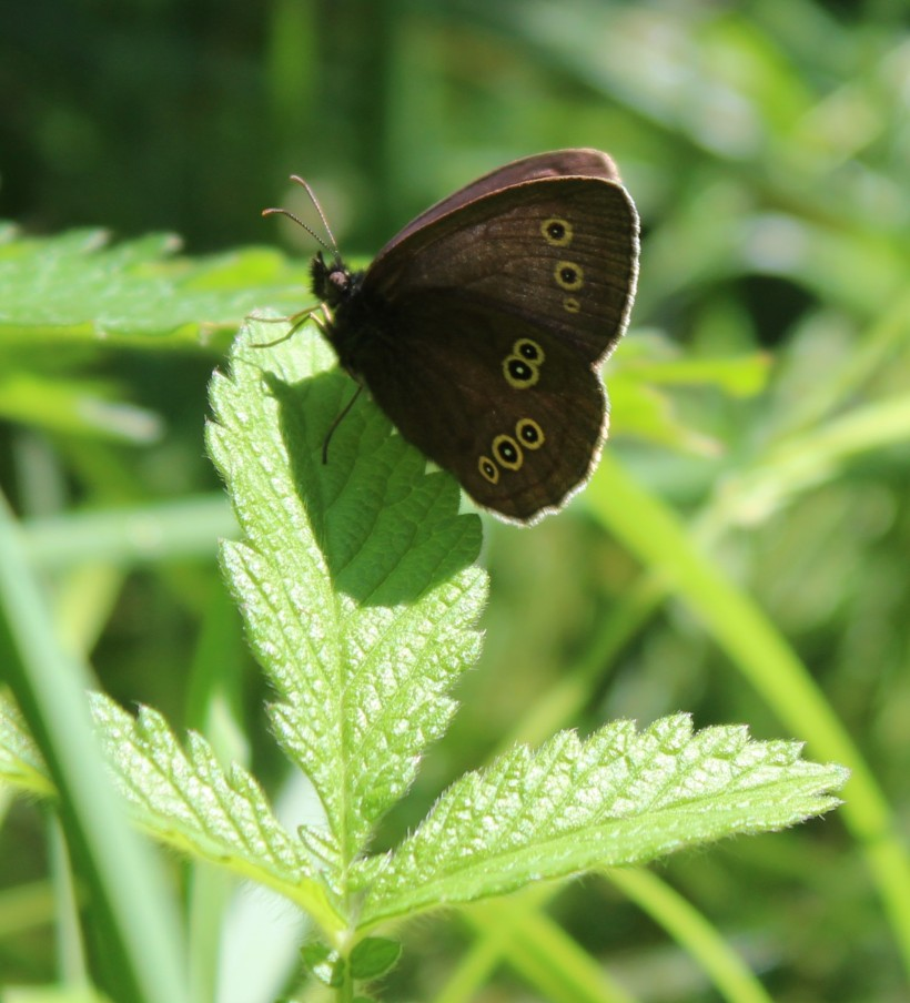 Ringlet Butterfly (Cropped)