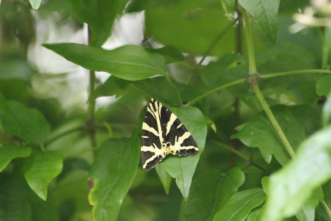 Jersey Tiger Moth (3)