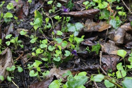 Dog Violets first sign of spring